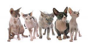 Camadas de gatos sphyn egipcios madrid