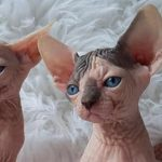 gatos Sphynx fondo