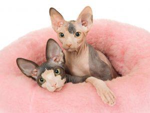 gatos sin pelo egipcios sphynx en madrid