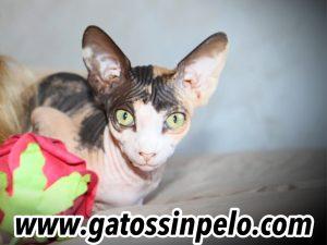 gatos sphynx madrid sin pelo egipcio