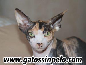 gatos sphynx madrid esfinge