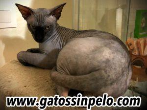 gatos sphynx madrid sin pelo egipcio negro