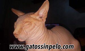 venta de gatos esfinge en madrid