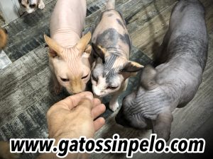gatos sphynx madrid esfinge cats