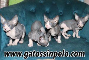 camada gatos sin pelo 2020_5015