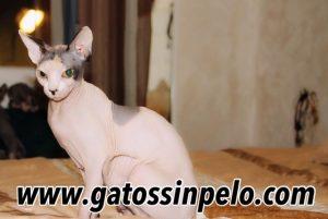 camada gatos sin pelo 2020_5023