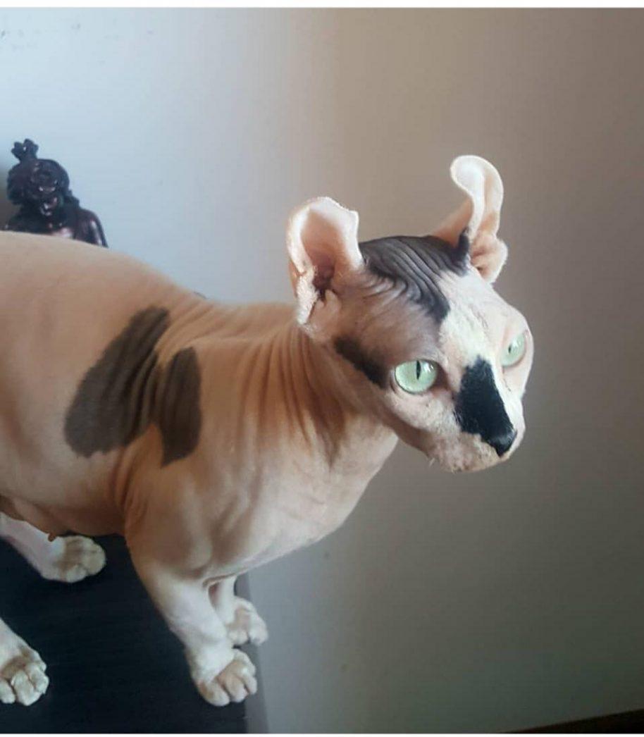 gatos sin pelo madrid venta criadero