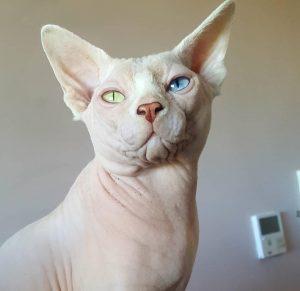 gatos egipcios madrid sphynx