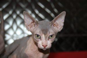 gatos esfinge golum sphynx