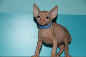 gatos sphynx madrid Golum Sphynx cats.JPG