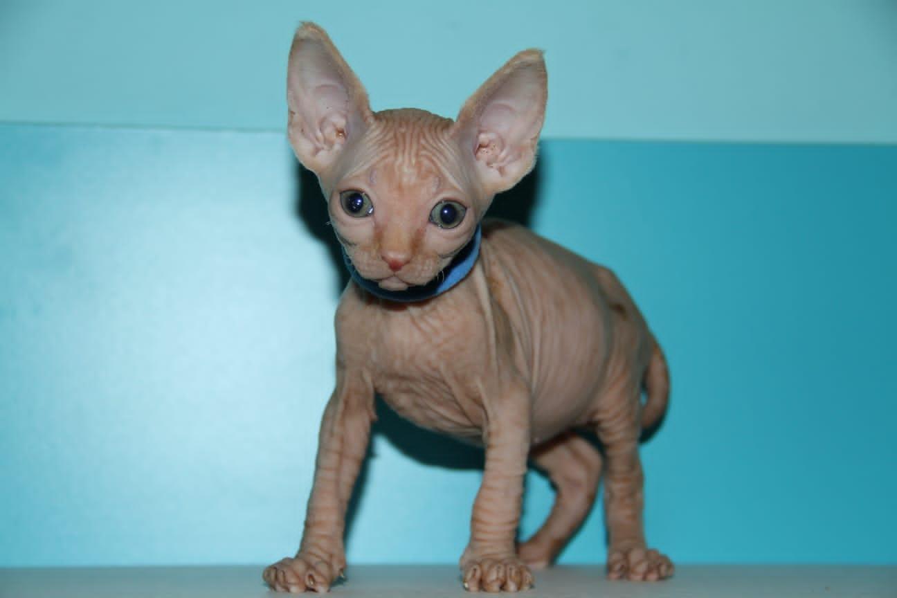 sphynx gatos sin pelo